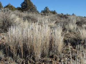 Bluebunch wheatgrass is among the dominant bunchgrasses in sage-steppe grasslands. Re-establishing it following catestrophic fires and other disturbances may be key for preventing invasion by exotic annual grasses.