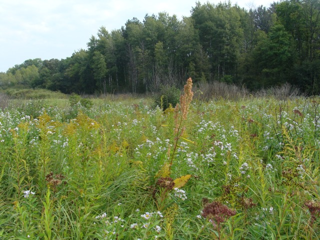 Autumn bloom of goldenrods, asters, and great water dock in a wet meadow.