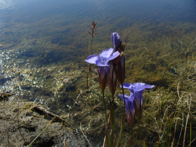 "There is nothing ""lesser"" about lesser fringed gentian, here growing on a marly bank."