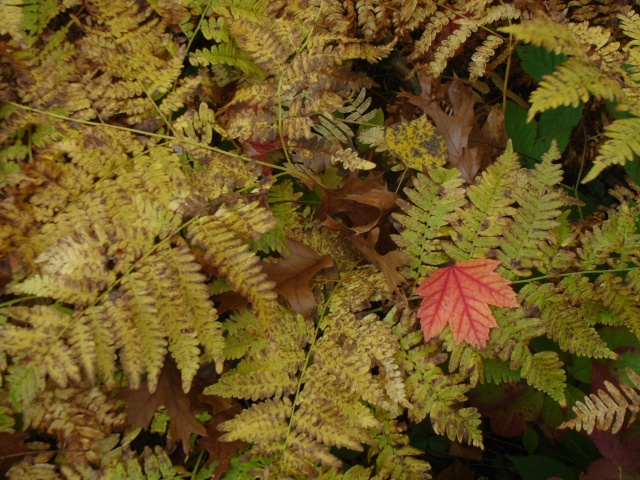 A leaf of red maple rests on bracken fern.