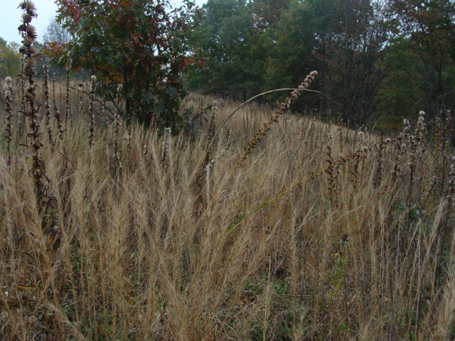 Three-awns give texture to the autumn sand prairie.