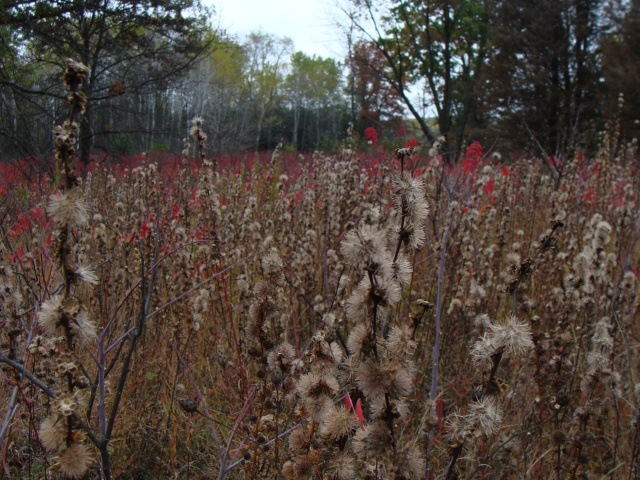 Blazing star pappus and sumac.