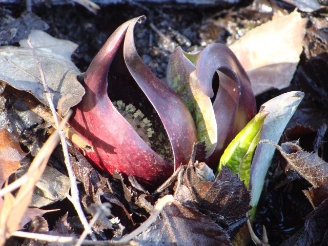 Skunk cabbage flower--The spadix (a spike of small flowers on a fleshy stem) peeks out from a rich, wine-colored and bulbous spathe (the bract, a modified leaf, that forms the hood here enclosing the spadix). this arrangement is typical of plants in the Family Araceae.