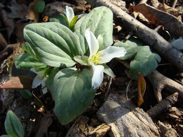 Snow trillium in full bloom at a newly discovered site in SE WI.