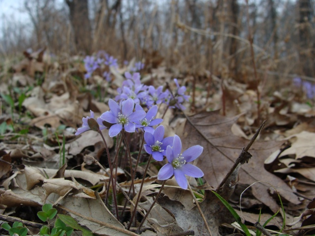Round-lobed hepatica near the S. Kettle Moraine State Forest HQ
