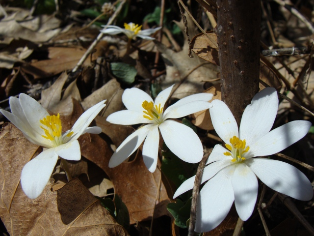 Blood root at Lulu Lake SNA