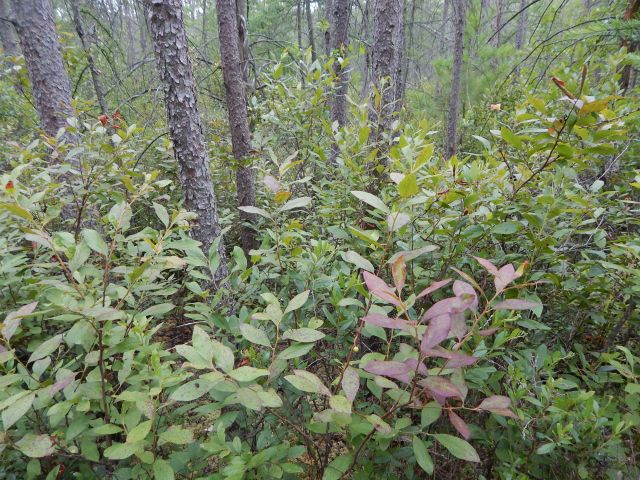 Huckleberry (Gaylussacia baccata) and tamarack (Larix laricina) dominate much of the bog interior.