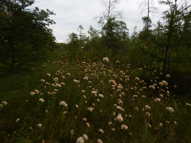 Tawny cotton grass (Eriophorum virginicum) is not a grass. It's a sedge that is extremely abundant at Beulah Bog and typical of bogs in SE Wisconsin.