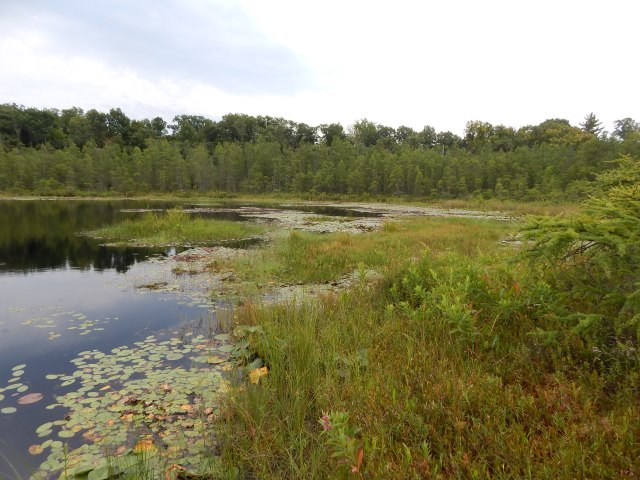 There is still a small area of open water in one of the depressions, surrounded on all sides by floating-mat forming sedges and other vegetation. Left undisturbed, this will eventually be sealed over.