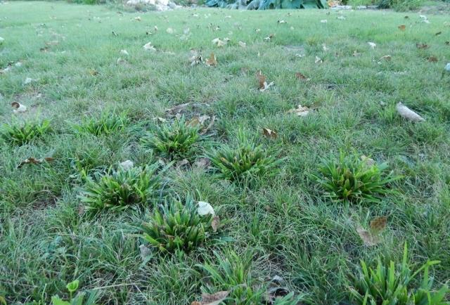 danthonia lawn